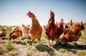 Grypa ptaków – apel o przestrzeganie zasad bioasekuracji